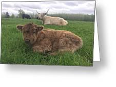 Scottish Highland Calf Greeting Card