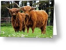 Scottish Highland Cows Greeting Card