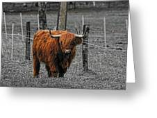 Scottish Highlander Greeting Card