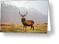 Scottish Red Deer Stag - Glencoe-2 Greeting Card