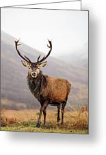 Scottish Red Deer Stag - Glencoe Greeting Card