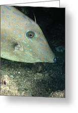 Scrawled Filefish Profile, Alutera Greeting Card