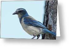 Scrub Jay Close Up Greeting Card