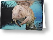 Sea Cow Swimming Underwater Greeting Card