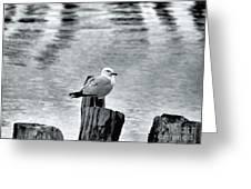 Sea Gull Black And White Greeting Card
