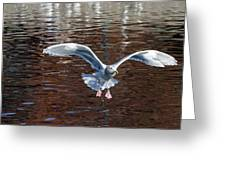 Sea Gull Landing Greeting Card