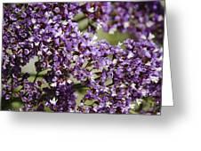 Sea Lavender Greeting Card