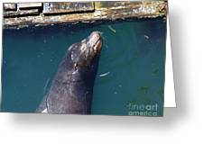 Sea Lion Pillow Greeting Card
