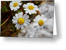 Sea Mayweed Greeting Card