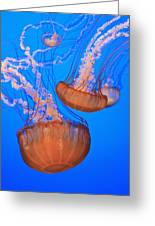 Sea Nettles Chrysaora Fuscescens In Greeting Card