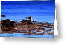 Seagul Landing Greeting Card