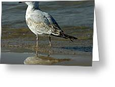 Seagull And His Reflection Greeting Card