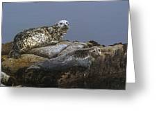 Seal Of Lover's Point Beach Greeting Card by Atul Daimari