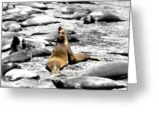Sealions Cambria Greeting Card