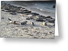 Seals, Seals, And More Seals Greeting Card