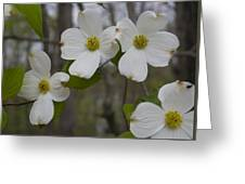 Season Of Dogwood Greeting Card