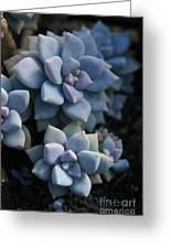 Sedum Clavatum Beautiful Cultivated Stonecrop Greeting Card