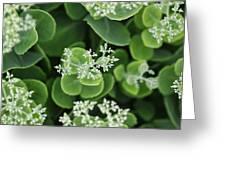 Sedum Pre-bloom Greeting Card
