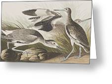 Semipalmated Snipe Or Willet Greeting Card
