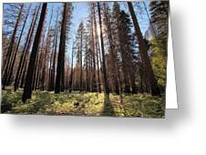 Sequoia Forest At Sunrise Greeting Card