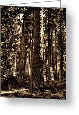 Sequoia Grove Along Crescent Meadow Loop Greeting Card