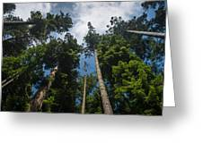 Sequoia Park Redwoods Reaching To The Sky Greeting Card