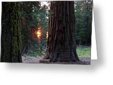 Sequoia Sunset Greeting Card