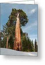 Sequoia Trees Greeting Card