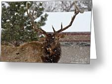 Seven Point Bull Elk Greeting Card