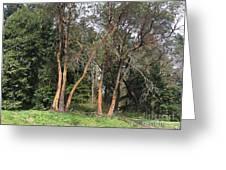 Seward Park Trees Greeting Card