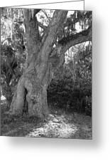 Kingsley Plantation Tree Greeting Card