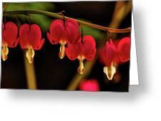 Shades Of Bleeding Hearts Greeting Card
