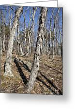 Shagbark Hickory Forest  Greeting Card