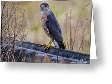 Shakerag Coopers Hawk Greeting Card