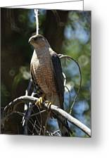 Sharp Shinned Hawk Greeting Card