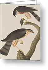 Sharp-shinned Hawk Greeting Card