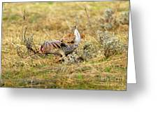 Sharp Tailed Grouse Strutting Greeting Card