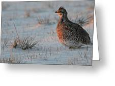Sharptail On At Sunrise Greeting Card