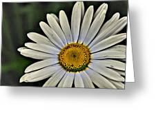 Shasta Daisy Greeting Card
