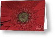 Shasta Daisy Macro Greeting Card