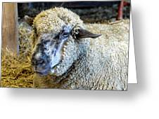 Sheep 1 Greeting Card