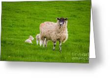 Sheep And Lambs Greeting Card