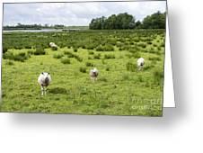 Sheep Animals Greeting Card