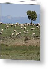 Sheep Country Greeting Card