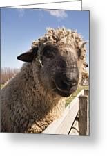 Sheep Face 2 Greeting Card