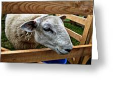 Sheep Four Greeting Card