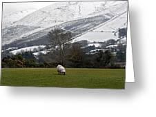 Sheep Grazing Atthe Galtees  Ireland's Tallest Inland Mountains Greeting Card