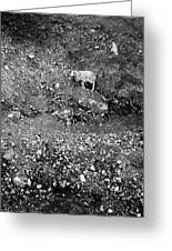 Sheep In Bw Greeting Card