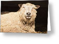 Sheep In Stable 2 Greeting Card