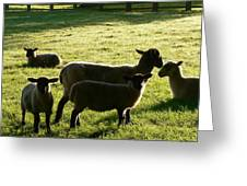 Sheep In The Sunlight Greeting Card
